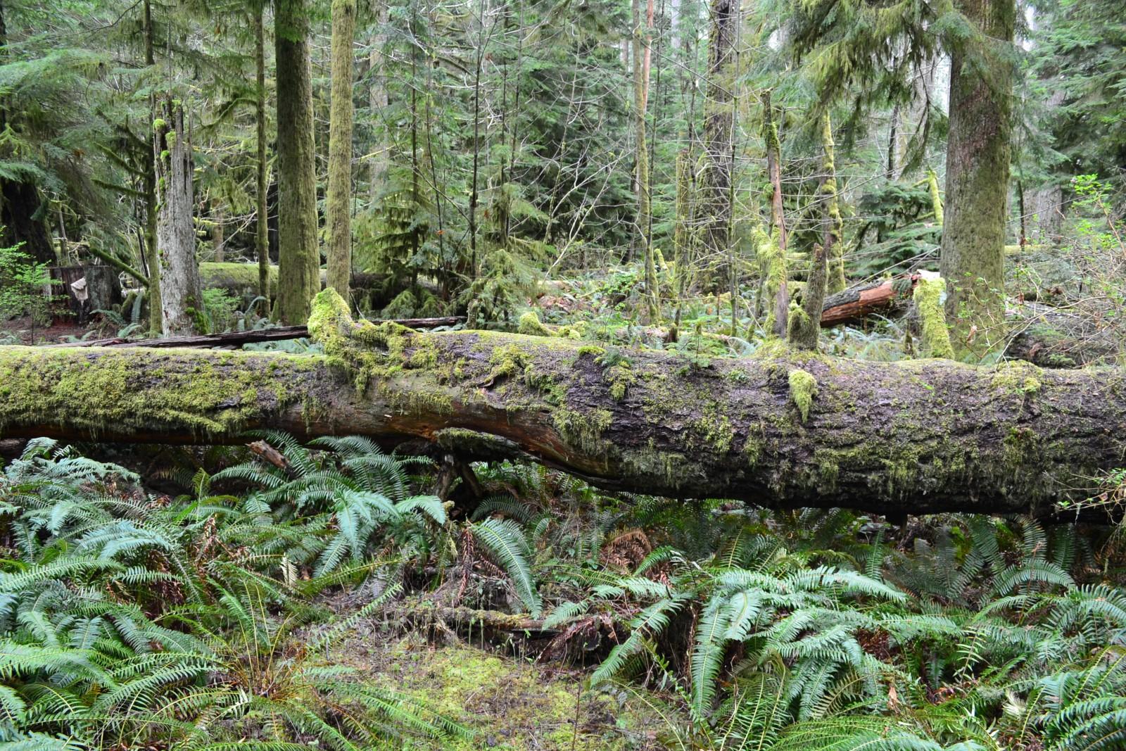 Zachodnio wybrzezny las deszczowy, Rain Forest, wyspa Vancouver