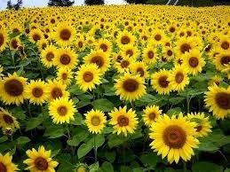 słoneczniki.jpg